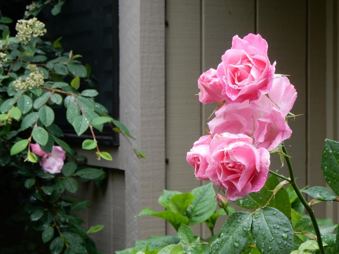 @ポートランド 5月には庭のバラが咲き誇る様子