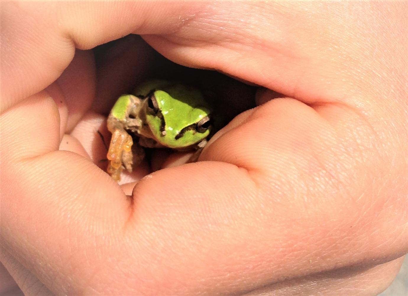 手の中にいるアマガエル